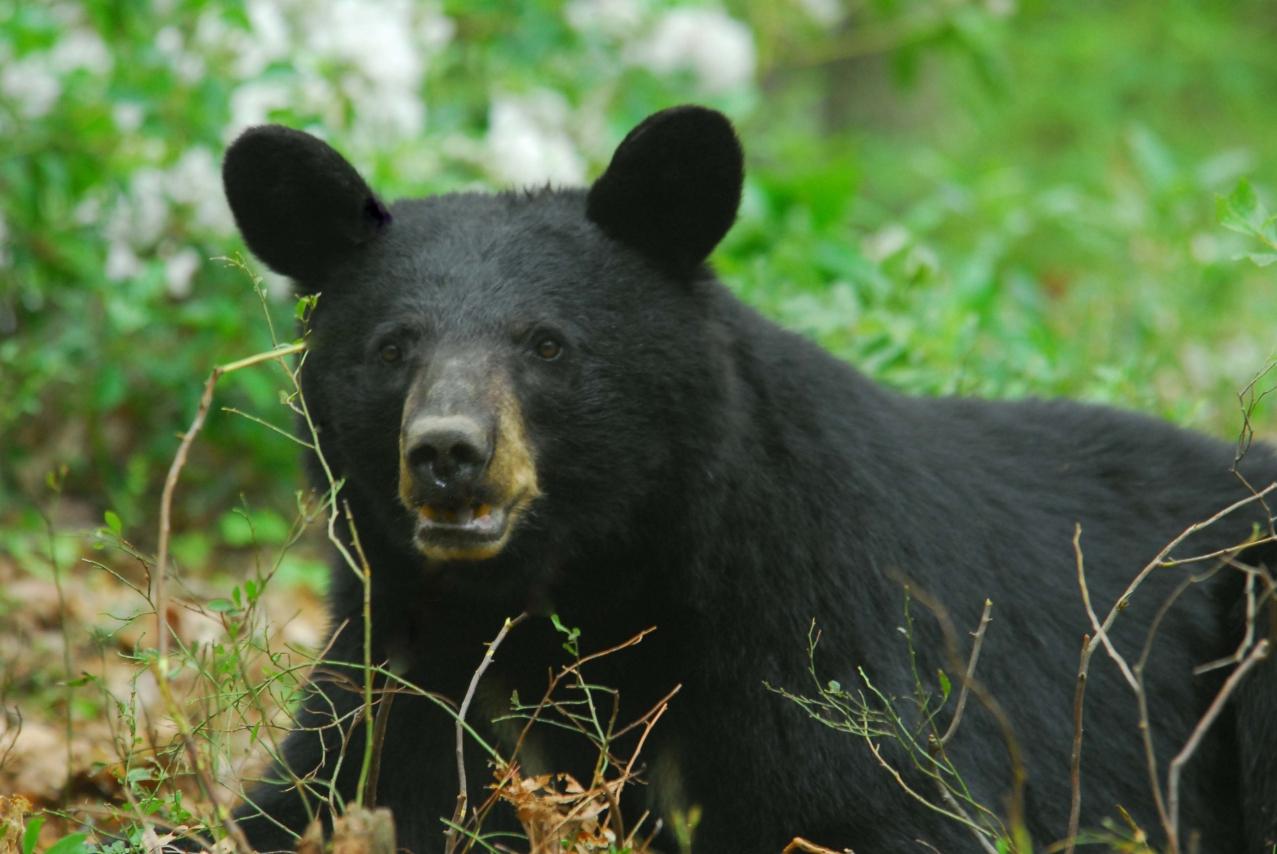 Living with Pennsylvania Black  Bears