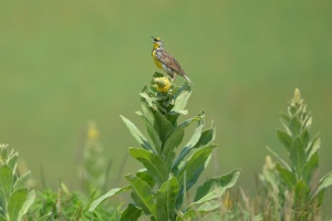 meadowlark.ross