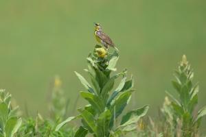 meadowlark.ross