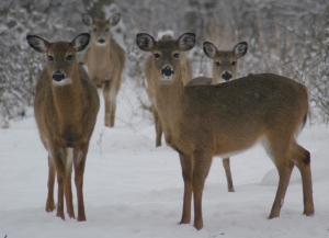 Deer Group in Winter