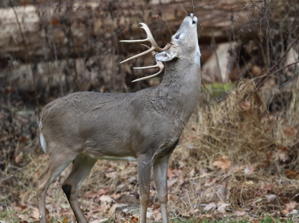 Buck at Licking Branch by Jacob Dingel 13901