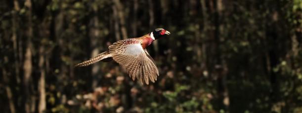 Pheasant.MiddleCreek.10.23.18.derekstoner.8459 (2)