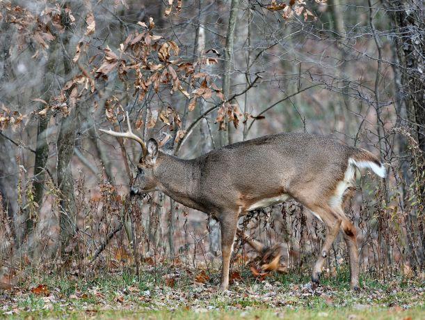 Scraping Buck by Jacob Dingel 07362