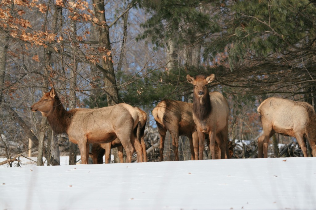 Elk Herd in Snow by Jacob Dingel 01795